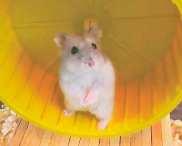Coloquei mais uma rodinha e minha hamster adorou - coloquei mais uma rodinha e minha hamster adorou
