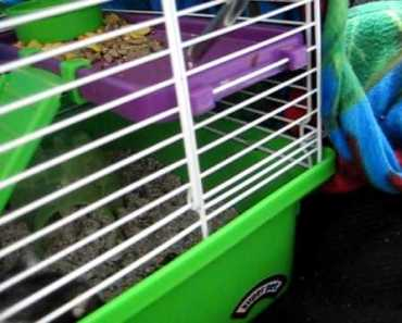Cute dwarf hamster chirping for attention - cute dwarf hamster chirping for attention