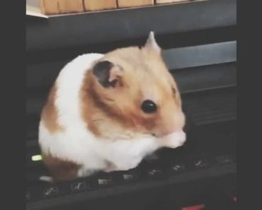 Cute hamster & funny hamster 5 - cute hamster funny hamster 5