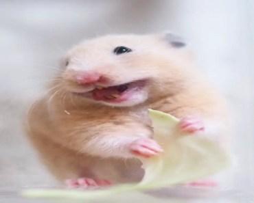 Cute Hamsters - Cute Hamsters Doing Funny Things #2 Compilation 2018 - cute hamsters cute hamsters doing funny things 2 compilation 2018