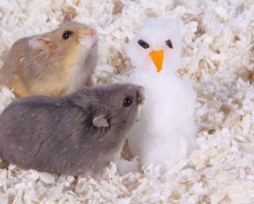 Day 9: Building a Snowman - Cute Hamsters: 12 Days of Christmas - day 9 building a snowman cute hamsters 12 days of christmas
