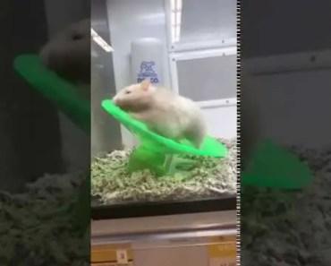 Funny Hamster Workout - funny hamster workout