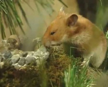 Hammy the Hamster Vol 1 Ep 1 - hammy the hamster vol 1 ep 1