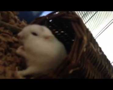 Hamster clicking/respiratory issues? - hamster clicking respiratory issues