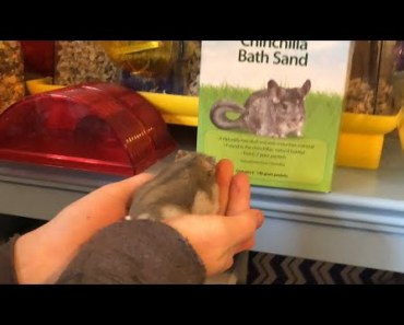 Hamster Sand Bath- Did you know Hamster's take a bath?! - hamster sand bath did you know hamsters take a bath
