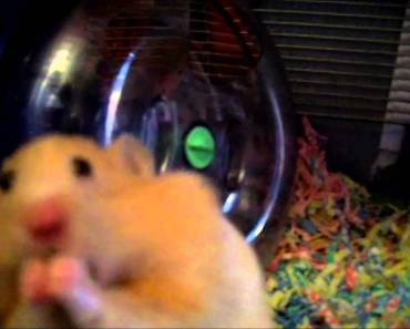 HAMSTER STUFFING LOADS OF TREATS IN HIS CHEEK POUCHES - hamster stuffing loads of treats in his cheek pouches