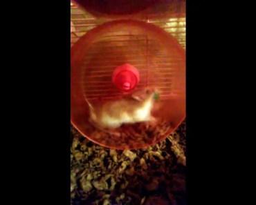 Hamster talking?????? - hamster talking
