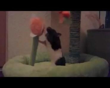Hamster vs Rocky - hamster vs rocky