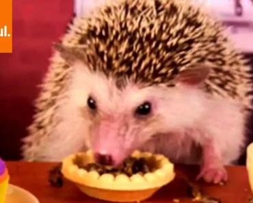 Hedgehog and Hamster Eat In Mini Coffee Shop (Storyful, Wild Animals) - hedgehog and hamster eat in mini coffee shop storyful wild animals
