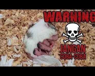 Jangan Kawinin Hamster! Bahaya nanti kayak gini.... - jangan kawinin hamster bahaya nanti kayak gini