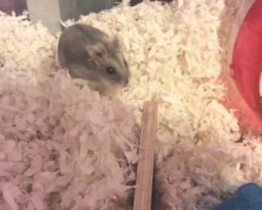 Meet queeney! My winter white hamster - meet queeney my winter white hamster