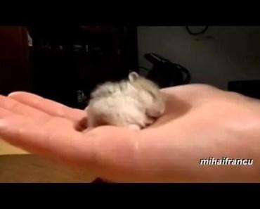 My Baby Hamster Snoring Cute - my baby hamster snoring cute