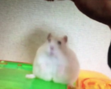 Owner teases Hamster (funny) - owner teases hamster funny