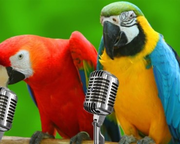 Parrots Singing - Funny Parrots Singing Songs! - parrots singing funny parrots singing songs