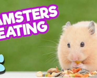 Super Cute Hamsters Eating May 2018 | Funny Pet Compilation | #thatpetlife - super cute hamsters eating may 2018 funny pet compilation thatpetlife