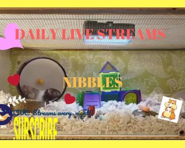 The Best of Nibble's LIVE STREAM- Original Cage theme/ Cute funny Hamster Fails - the best of nibbles live stream original cage theme cute funny hamster fails