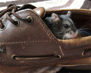 Tiny Hamster in a Big Shoe - Hamster Explores - tiny hamster in a big shoe hamster