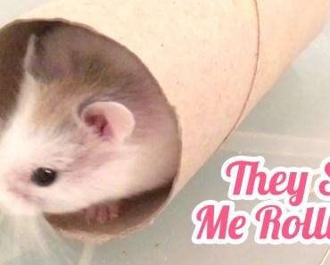 Tiny Hamster Rolling Inside Toilet Tube! - tiny hamster rolling inside toilet tube