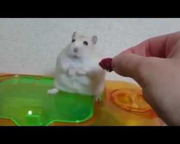 Very cute and funny))) Offended hamster - very cute and funny offended hamster