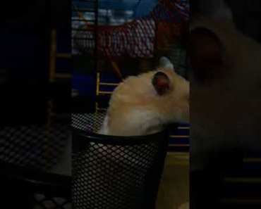Funny hamster - 1529838343 funny hamster