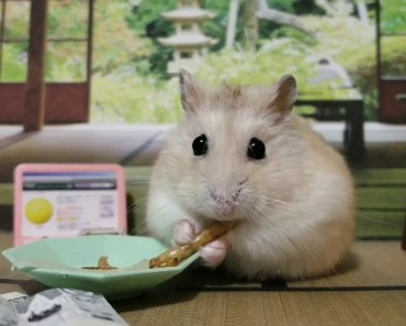Can you beat this hamster in a staring competition? - can you beat this hamster in a staring competition