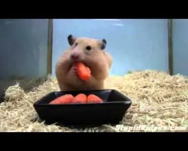 Carrot Greedy Hamster - carrot greedy hamster