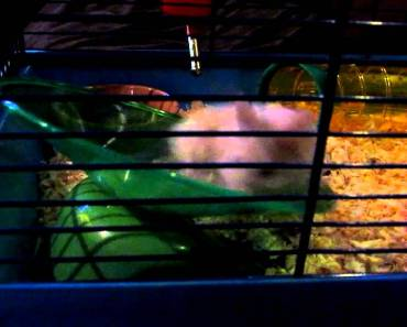 Chewie the Amazing Hamster being Funny on his wheel - chewie the amazing hamster being funny on his wheel