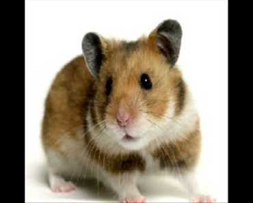 Cotton Eyed Joe vs Hamster Dance - cotton eyed joe vs hamster dance