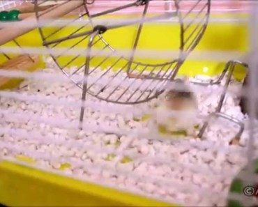 Crazy hamster, no clue how to use running wheel - OCD - crazy hamster no clue how to use running wheel ocd
