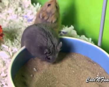 Cute and Funny Hamster Videos Compilation 2015 Part 2 - cute and funny hamster videos compilation 2015 part 2