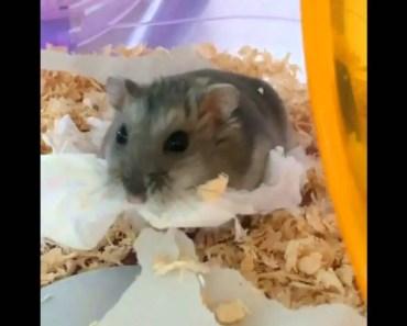 Cute Pet Videos * Cute Hamster Compilation 2016 #1 - cute pet videos cute hamster compilation 2016 1