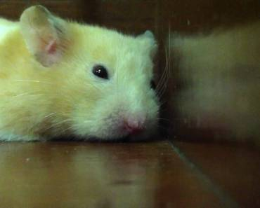 Dying hamster - dying hamster