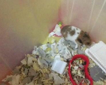 Funny, cute screaming hamster - funny cute screaming hamster