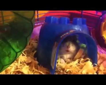 Gavins growling hamster - gavins growling hamster