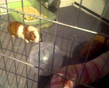 Guinea Pig vs hamster stand off - guinea pig vs hamster stand off