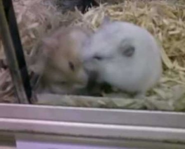 HAMSTER BATTLE!!!! Two Hamsters attempt to kill eachother - hamster battle two hamsters attempt to kill eachother