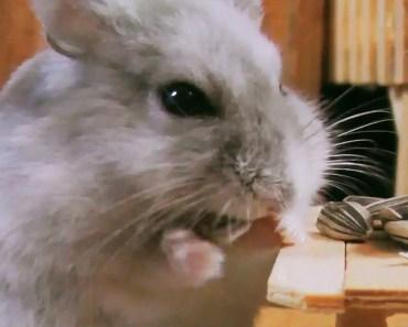 Hamster e as sementes de girassol [Hamster anão russo] - hamster e as sementes de girassol hamster anao russo