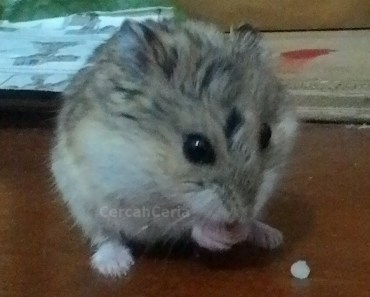 Hamster Eating Tiny Food (rice) - hamster eating tiny food rice