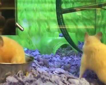 Hamster Has Epic Fail on Running Wheel - hamster has epic fail on running wheel