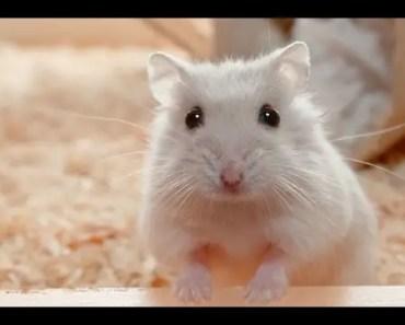 Hamster Playing Dead - hamster playing dead