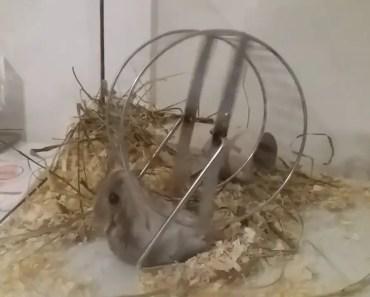 Hamster Runs on Outside of Wheel - hamster runs on outside of wheel