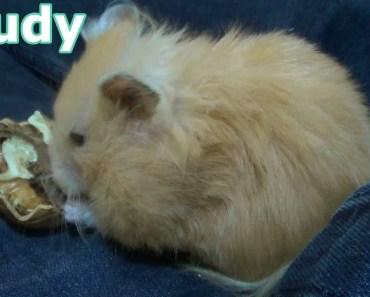 Joudy my cute syrian hamster eating walnut - joudy my cute syrian hamster eating walnut
