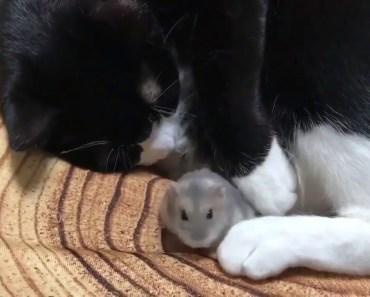 Kediyle Dost olan Hamster - kediyle dost olan hamster