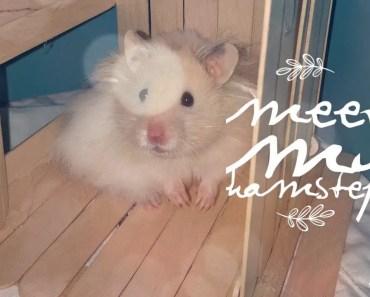MEET MY HAMSTER!! - meet my hamster