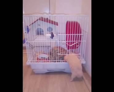 My crazy hamster enters and leaves the cage alone!!! FUNNY!!! - my crazy hamster enters and leaves the cage alone funny