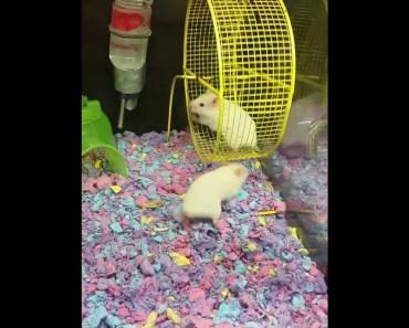 PETSMART HAMSTER FLIES OFF THE WHEEL - petsmart hamster flies off the wheel