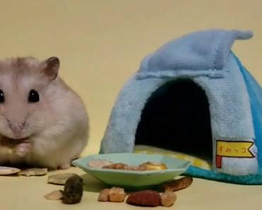 This Dwarf Hamster Defines Cute [Cute Animal Vid] - this dwarf hamster defines cute cute animal vid
