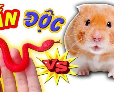 Tony | Troll Thả Rắn Độc Vào Cắn Chuột Hamster - TOY SNAKE VS HAMSTER - tony troll tha ran doc vao can chuot hamster toy snake vs hamster