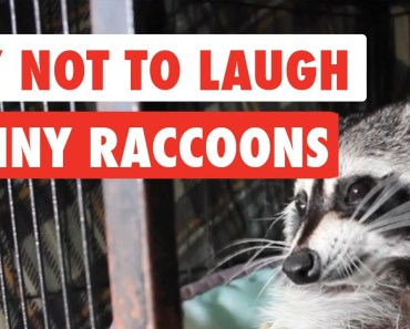 Try Not To Laugh | Funny Raccoon Video Compilation 2017 - try not to laugh funny raccoon video compilation 2017