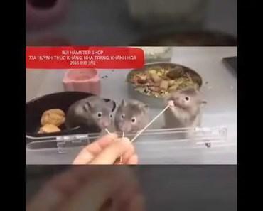 Hamster Nha Trang - Hamster cute funny - 1532500076 hamster nha trang hamster cute funny